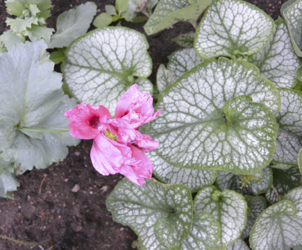 vaaleanpunainenkukkanen