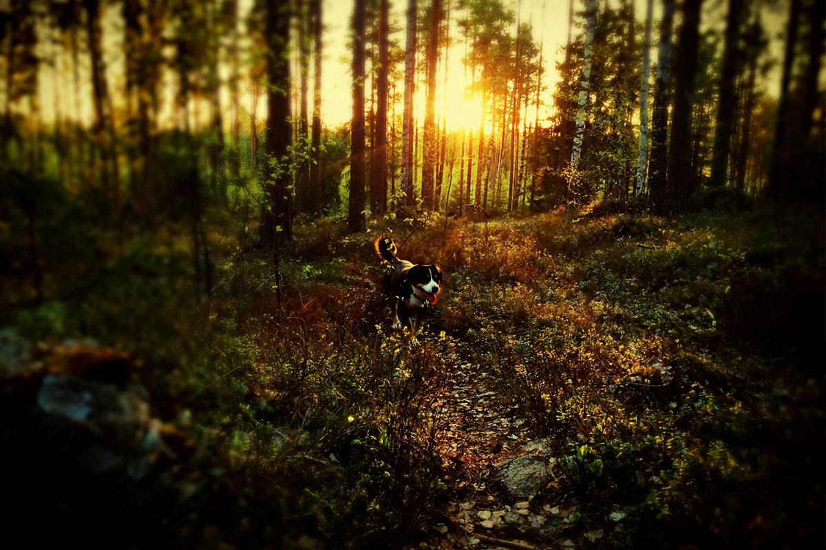 metsä - aurinko